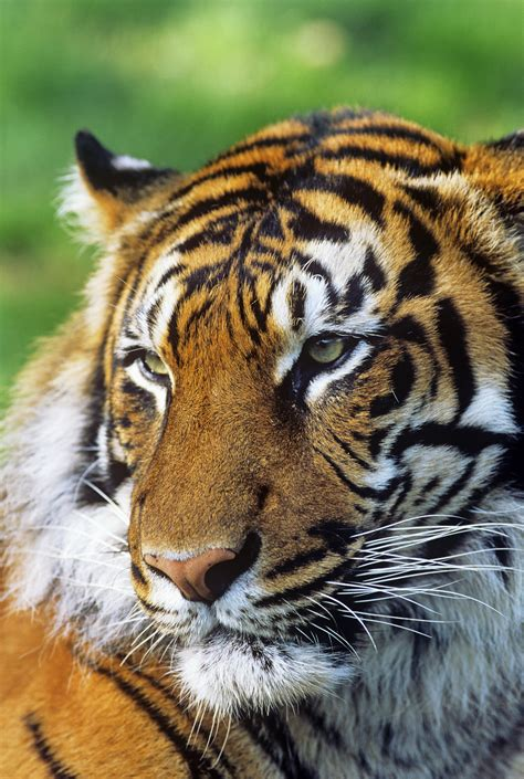 Global Tiger Day 2014 – Global Wild Tiger Numbers Unknown