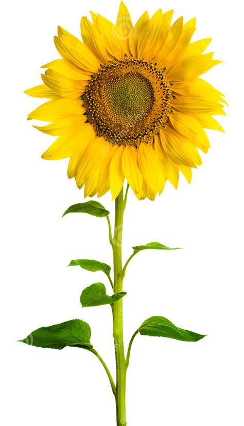 Real Sunflower PNG images transparent