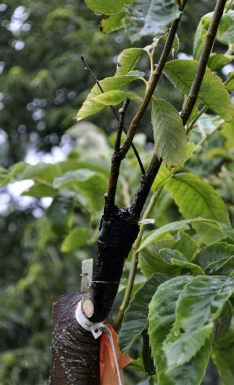 Chopping, grafting can result in beautiful fruit trees