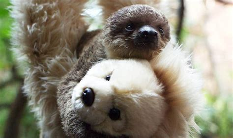 Baby sloth finds a friend in an unlikely place | Nature