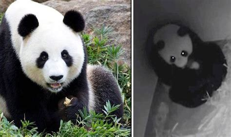 VIDEO: Adorable panda plays Mum and nurses TOY like own