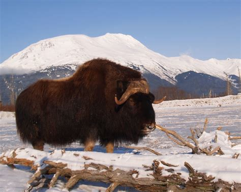 Musk Ox of Alaska - Explore   The Musk Ox is very well