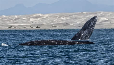Climate change could be good news for gray whales - CBS News